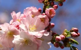 Картинка цветы, ветка, весна, сакура, розовые, бутоны, цветение