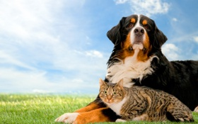 Картинка кошка, трава, собака, лужайка