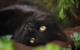 Картинка кот, чёрный, взгляд