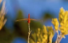 Картинка небо, растение, крылья, стрекоза, насекомое