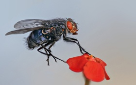 Обои цветок, муха, растение, лепестки, насекомое