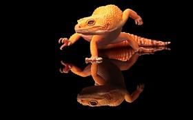 Обои Ящерица, отражение, рептилия