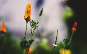 Обои оранжевые, лепестки, бутон, цветы
