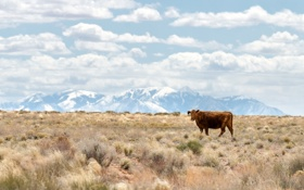 Обои горы, корова, USA, США, штат Юта, Utah