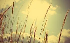 Картинка колоски, лето, небо, день, солнце