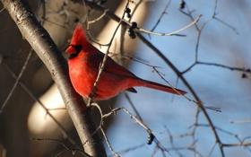 Обои красная, хохолок, Regal, птичька