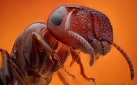 Картинка глаза, лапки, рыжий, муравей, оранжевый фон, усики