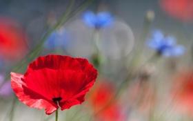 Картинка макро, цветы, красный, мак, лен, полевые
