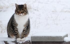 Картинка зима, кот, усы, взгляд, снег, животное, лапки