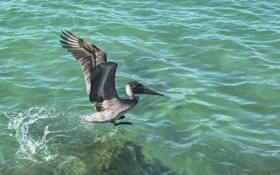 Обои птица, крылья, клюв, вода, пеликан