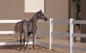 Обои фон, конь, Arabian Horse