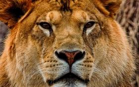 Обои взгляд, морда, львица