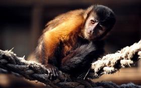Картинка канаты, фото, обезьянка