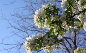 Картинка природа, дерево, цветочки, яблоня, синее небо, веточки