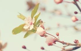 Обои макро, деревья, цветы, природа, вишня, бутоны, flowers