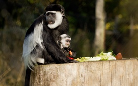Обои зелень, еда, обезьяны, детёныш, боке