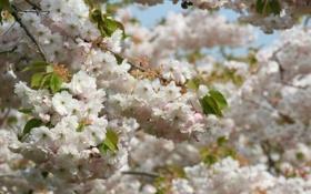 Обои деревья, цветы, ветви, весна, лепестки, сакура, белые