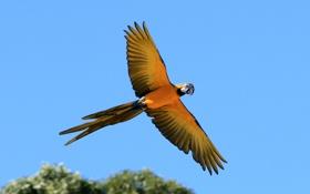 Обои небо, полет, птица, крылья, попугай, хвост