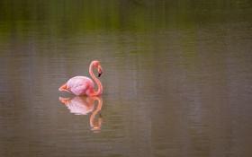 Картинка вода, розовый, птица, фламинго