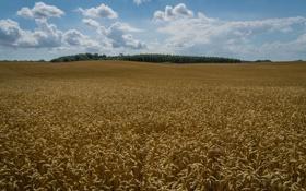 Картинка пшеница, поле, колосья, Швеция, Sweden, Klågerup