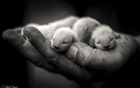 Картинка фото, рука, зверьки, черно-белое, малыши