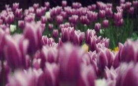 Обои цветы, сиреневый, тюльпаны