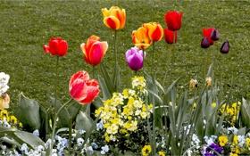Обои сад, тюльпаны, клумба, природа