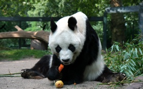 Картинка морковка, медведь, панда, груша, сидит, ест