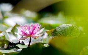 Обои листья, вода, цветы, лилии, water, flowers, leaves