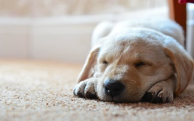 Обои на полу, собачка, спит, ковер, собака
