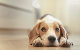 Картинка собака, щенок, puppy, dog, домашнее животное, dogs, beagle