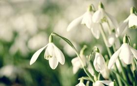 Обои весна, подснежники, snowdrop