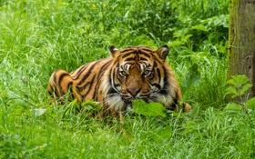 Обои кошка, трава, взгляд, тигр, суматранский