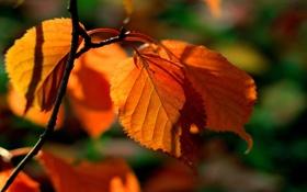 Картинка макро, природа, фон, листва, картинки, оранжевая, ветка