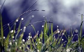 Обои трава, капли, роса, блики, колоски, травинки
