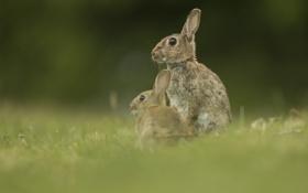 Обои природа, фон, зайцы
