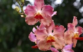 Картинка зелень, макро, цветы, ветка, розовые, бутоны, орхидея