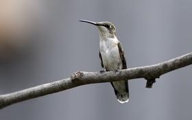 Картинка птица, фокус, ветка, колибри