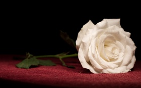 Обои роза, белая, лепестки
