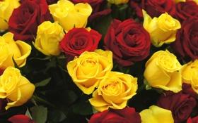 Обои цветы, розы, красные, жёлтые