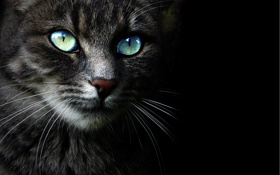 Обои кошка, взгляд, морда, Кот, черный фон