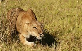 Обои природа, лев, охота