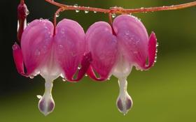 Картинка цветок, капли, макро, роса, лепестки, flower, macro