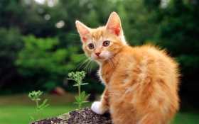 Картинка кот, трава, киска, рыжий, котенок, киса, cat