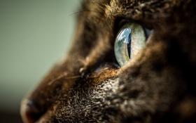 Обои кошка, глаз, профиль