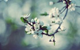 Картинка макро, цветы, природа, вишня, блики, ветка, весна