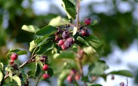 Обои листья, зелень, Дерево, Ирга, ягоды