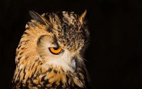 Картинка взгляд, сова, птица, клюв