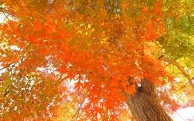 Картинка осень, листья, дерево, японский клен