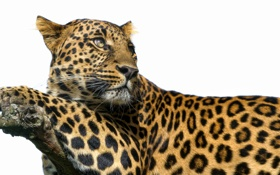 Обои пятна, белый фон, хищник, большая кошка, ветка, взгляд, леопард